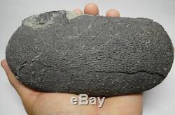 Fossile Authentique D'œuf De Dinosaure Théropode De Forme Ovale, Coquille D'œuf Foncée Museum Quality